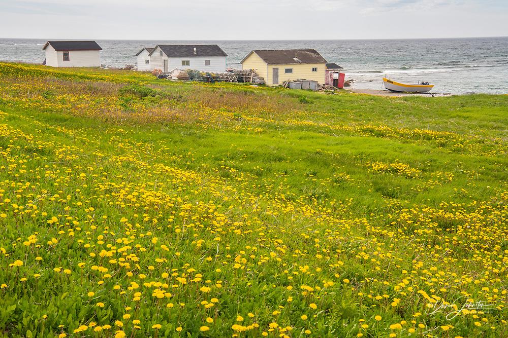 Dandelions and fish shacks, Sally's Cove, Newfoundland and Labrador NL, Canada