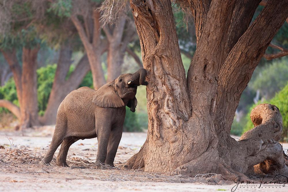A desert-dwelling elephant (Loxodonta africana) leaning into and pulling bark from a tree, Skeleton Coast, Namibia,Africa