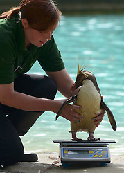 © Licensed to London News Pictures. 22/08/2012. London, UK . Ricky the Rockhopper Penguin is  weighed by keeper Vicky Fyson. ZSL London Zoo conducts its annual weigh-in. Each of the 16,000 animals are measured and weighed. The information recorded is sent to zoos around the world. Photo credit : Stephen Simpson/LNP