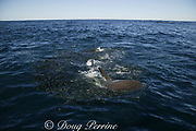 copper sharks or bronze whalers ( Carcharhinus brachyurus ) feed on bait ball of sardines, Sardinops sagax, during annual Sardine Run off the Wild Coast ( Transkei ) of South Africa at Mboyti ( Indian Ocean )