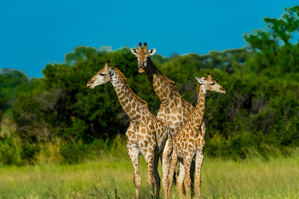 A herd of giraffes near Kwara Camp, Okavango Delta, Botswana.