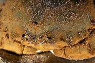 Sleepy Sponge Crab Close up, Dromia dormia, off west coast of Maui, Hawaii
