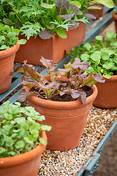 Lettuce 'Red Salad Bowl' in a terracotta pot