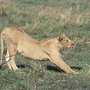 Lion, (Panthera leo) Sub adult stretching. Masai Mara Game Reserve. Kenya. Africa.