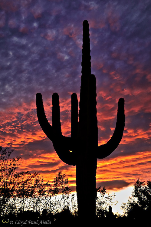 A Saguaro cactus (Carnegiea gigantea) stands silhouetted against a stormy sunset within the 57,930 acre Saguaro National Park in Arizona.  Being composed of 85% water, these 50 foot tall giants can weigh over 8 tons and are the largest member of the cactus family in the United States. Their skin is smooth and waxy with stout, 2-inch spines clustered on their ribs. The outer pulp can expand like an accordion when water is absorbed, increasing the diameter of the stem and raising its weight by up to a ton.  <br /> <br /> The Saguaro generally takes 47 to 67 years to attain a height of 6 feet, and can live for 150 – 200 years.  During that lifetime, a single cactus will produce 40 million seeds; however, in its harsh native environment, only one of these seeds will survive to replace the parent plant.  Indeed, young Saguaro's must start life under a tree or shrub to prevent them from desiccating.  <br /> <br /> On this particular winter evening, the heavy storm clouds parted to the west shortly before sunset.  As the sun dropped below the horizon, it lit the underside of the stormy sky causing it to blaze with color for less than 5 minutes before the spectacle vanished even more quickly than it had appeared.