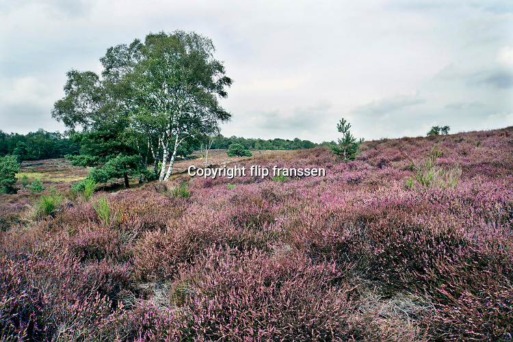 Nederland, Mook, 27-8-2020 Natuurgebied De Mookerheide. Mensen wandelen door het gebied . Nu het even geregend heeft staat de hei mooi in bloei. Toch zijn er door de droogte van dit en vorig jaar veel heistruiken dood gegaan, verdord. Door het hoge stikstofgehalte zijn grote plekken ontstaan waar gras de overhand heeft gekregen . Ook bekend om de historische Slag op de Mookerheide op 14 april 1574. De Mookerhei is een natuurgebied ten oosten van Mook in de provincie Limburg. Zij ligt op een uitloper van de Nijmeegse stuwwal. In het zuidelijke deel groeit struikheide die normaal in augustus prachtig bloeit. Dit gebied is onderdeel van de wandelroute, pelgrimsroute, walk of wisdom door het rijk van Nijmegen. Foto: ANP/ Hollandse Hoogte/ Flip Franssen
