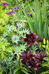 Lilium 'Landini' with Eryngium giganteum<br /> Miss Willmott's ghost and Tanacetum vulgare 'Isla Gold'