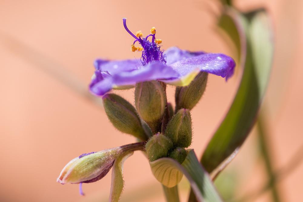 Spiderwort in bloom in Southern Utah.