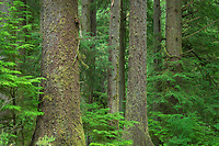 Old Growth Sitka Spruce in Mora casmpground of Olympic National Park