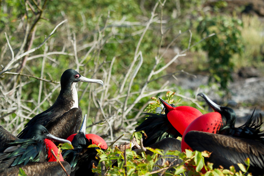 Female Frigate Bird  eying her male suitors in the Galapagos Islands.