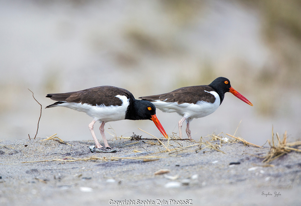 American Oystercatcher Pair Foraging