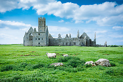 Sheep in front of Ross Errilly Friary, County Galway, Ireland