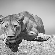 """""""Lion's Gaze""""                                           Tanzania<br /> Driving across the plains of the Serengeti in Tanzania, we came across this Lion.  He was gazing across the plains, while peacefully resting on this rock outcropping."""