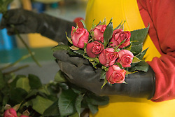 South America, Ecuador, Lasso, worker in packaging warehouse of rose farm which grows and packages roses for export