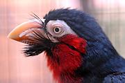 Avifauna, Europa's grootse vogelpark. / Avifauna - the largest bird sanctuary in Europe<br /> <br /> Op de foto / On the photo: Zwartband baardvogel ( Lybius dubius) Bearded barbet