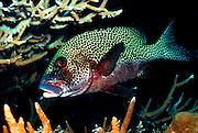 UNDERWATER MARINE LIFE WEST PACIFIC, generic FISH: sweetlips Plectorhinchus chaetodonoides