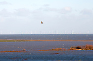 Marsh Harrier, Circus aeruginosus, flying over flooded Reserve after December 2013 floods at Cley-next-the-Sea, Norfolk UK