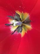Tulip, Interior, Stamen