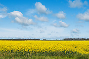 Cumulus cloud over field of flowering canola in rural Mingay, Victoria, Australia. <br /> <br /> Editions:- Open Edition Print / Stock Image