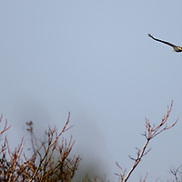Red tailed Hawk (Buteo jamaicensis) being chase by a mocking bird at Sandy Hook National Park New Jersey