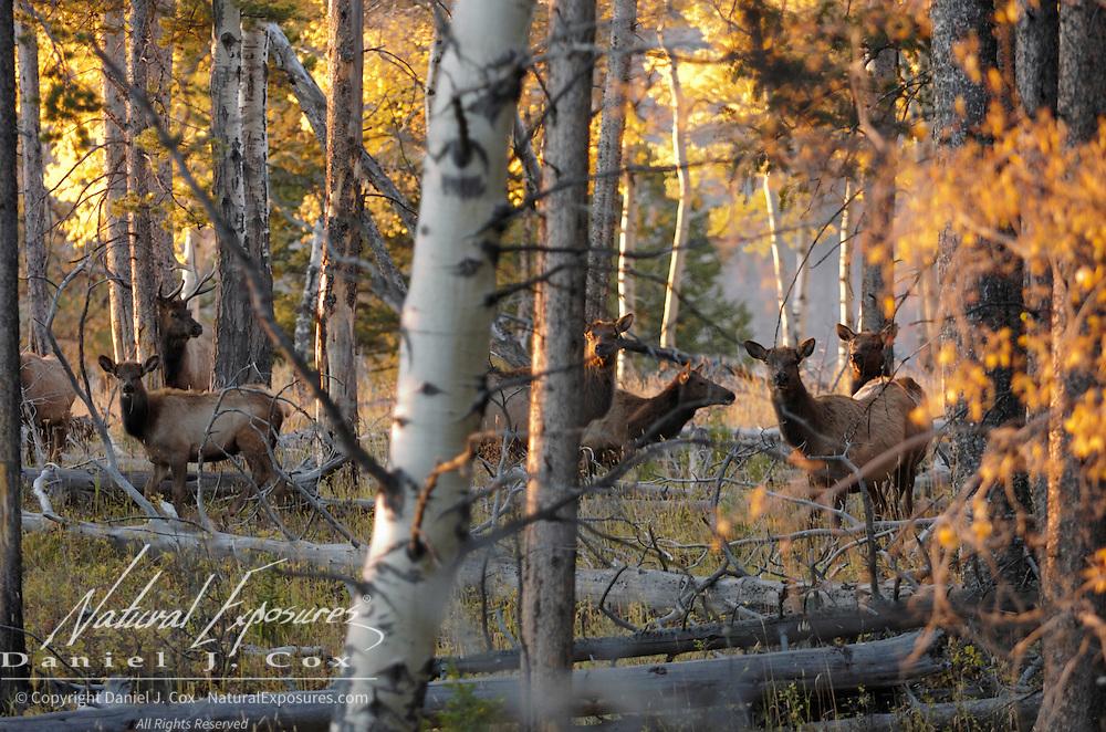 Elk (Cervus canadensis) in Yellowstone National Park.