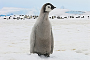 Emperor penguin leaves group to check out a photographer.