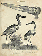 Mycteria is a genus of large tropical storks [Jabiru] with representatives in the Americas, east Africa and southern and southeastern Asia Copperplate engraving From the Encyclopaedia Londinensis or, Universal dictionary of arts, sciences, and literature; Volume XVI;  Edited by Wilkes, John. Published in London in 1819