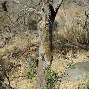 Leopard coming down from a tree, Malamala Game Reserve, South Africa.