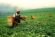 KENYA, AGRICULTURE Maua; a Kikuyu man picking tea on a plantationn in the highlands