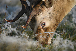 © Licensed to London News Pictures. 28/10/2019. London, UK. A deer stag  grazing in a frost covered field, on a bright winter morning in Richmond Park, London. The UK is due to see brighter weather over the next few days, following days of heavy rain which caused flooding in parts. Photo credit: Ben Cawthra/LNP