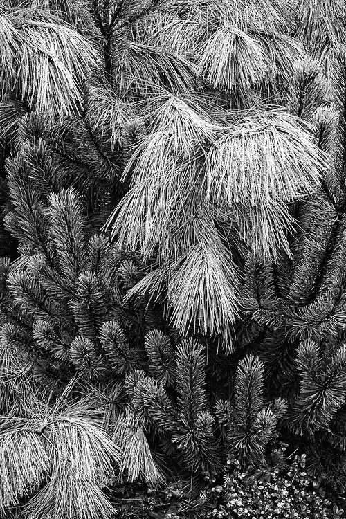 Pine tree, domestic garden, O'Hara property, October, Olympic Peninsula, Washington, USA