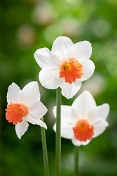 Narcissus 'Charming Lady'