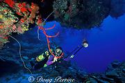 diver photographs red rope sponge,<br /> Aplysina cauliformis, on wall, West Bay<br /> Grand Cayman Island ( Caribbean Sea )   MR 202
