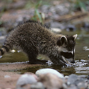 Raccoon searching for food on the edge of a stream during the summer. Wisconsin