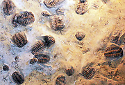 The Selenopeltis slab.  This slab of sandstone comes from 450 million year old Ordovician rocks of the Mecissi-Alnif area, Morocco.  Three trilobite genera are present, Selenopeltis, Calymenella and Dalmantina.