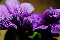 Purple petunias macro