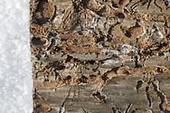 Photo Randy Vanderveen.Grande Prairie, Alberta.An adult Mountain Pine Beetle inside a peeled back piece of bark