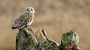 The Snort-eared Owl fly on the stump and looked intently across the marsh.  It must of seen something because it quickly flew over the grass, hovering briefly, before flying on.