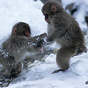 Snow Monkey or Japanese Red-faced Macaque, (Macaca fuscata) Young playing. Hokkaido, Japan.