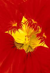 Nasturtium - Tropaeolum majus