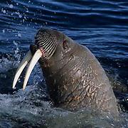 Walrus, (Odobenus rosmarus) In waters off Baffin Island. Canada .