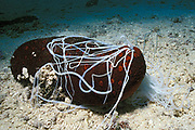 sea cucumber, Bohadschia argus, extruding sticky <br /> defensive threads or Cuvierian tubules from anus, <br /> Moorea, French Polynesia  ( Pacific )