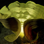 Yellow elephant ear sponge (Ianthella basta) with unique lighting to make it resemble a sculpture or work of modern art. Photographed at Hornbill Channel in Milne Bay, Papua New Guinea.