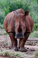 White rhinoceros with very long and sharp horn, [Secret location] Ears are marked for identification, © David A. Ponton