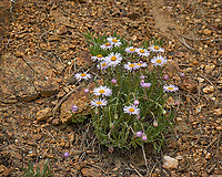 Purple, white, and yellow flowers (Daisy?). Rocky Mountain National Park. Image taken with a Nikon D2xs camera and 105 mm f/2.8 VR macro lens (ISO 100, 105 mm, f/8, 1/250 sec).