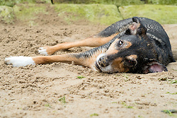 A mixed breed dog lying on the beach at Scarborough in Yorkshire<br />  11 July 2016<br />  Copyright Paul David Drabble<br />  www.pauldaviddrabble.photoshelter.comom