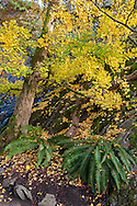 Ginkgo biloba (also known as the Maidenhair Tree) leaves on the ground under a Ginkgo tree. The two ferns are western Sword Ferns (Polystichum munitum).  Photographed from one of the many paths in the Quarry Gardens at QE Park in Vancouver, British Columbia, Canada.