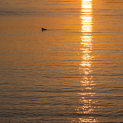 A common loon on the Atlantic Ocean at sunrise in Rye, New Hampshire.