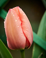 Tulip Flower about to open. Image taken with a Nikon D850 camera and 500 mm f/4 VR lens.