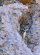 Camouflaged Great Horned Owlwithin Tufa Formations, Mono Lake, Mono Basin National Forest Scenic Area, CA